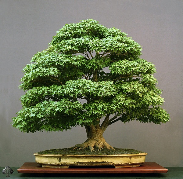 Acer Bonsai by Walter Pall