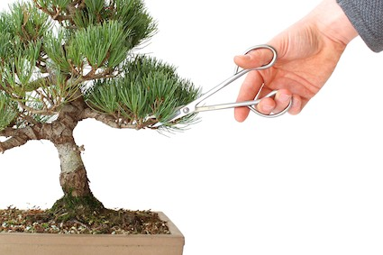 Pruning a pine (wrong)