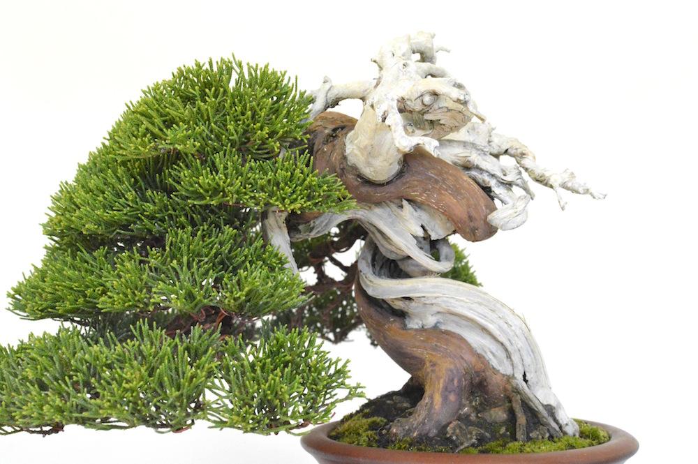http://www.bonsaiempire.ru/images/gallery/large/semishim3.jpg