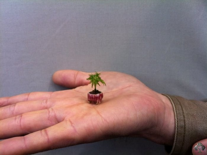 Smallest Bonsai tree
