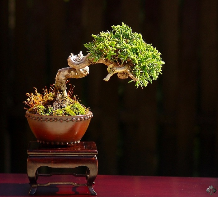 Juniper shohin bonsai