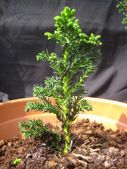 Two year old Bonsai tree